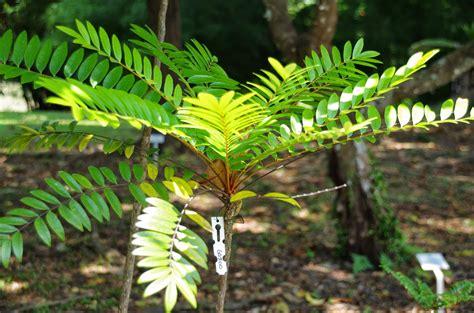 gambar tumbuhan pupus  hampir