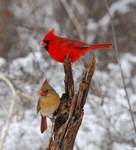 cardinals springfield mo go to http www zachriggs com