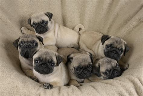 baby pug pictures adorable baby pugs