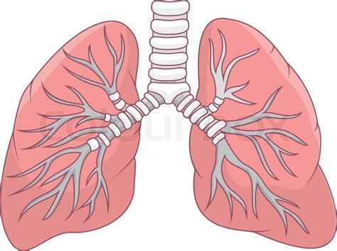 picture illustration vector illustration of human lung cartoon stock vector