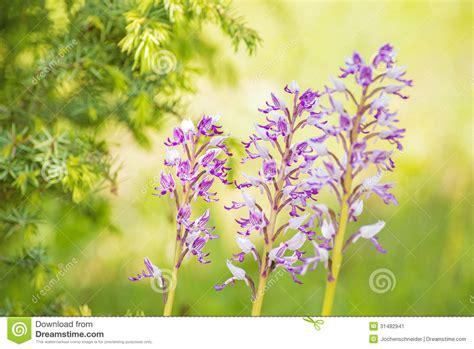 wilde bloemen in duitsland wilde orchidee 235 n in duitsland stock afbeelding
