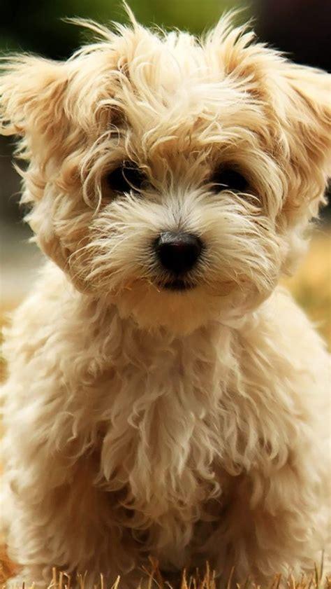 west highland puppies west highland white terrier puppies wallpaper