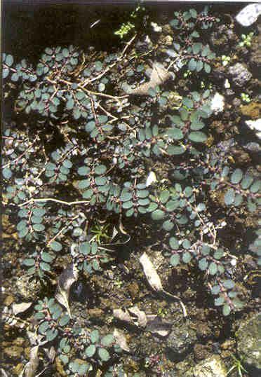 manfaat daun patikan cina  obat tradisional tanaman