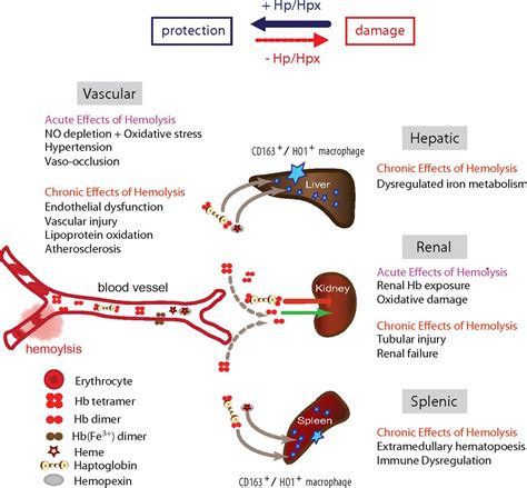 Abon Level 1 hemolysis and free hemoglobin revisited exploring
