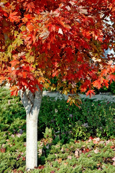 maple color autumn blaze maples create fiery fall color mississippi