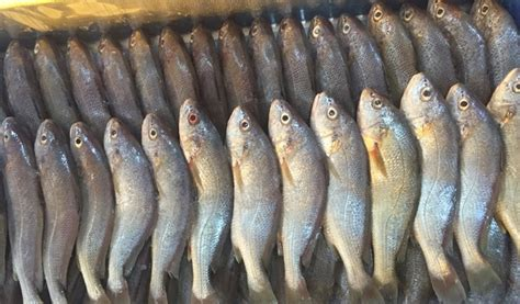 10 Fried Fish 200 Gr Cedea Sumber Frozen Makmur sea captain food