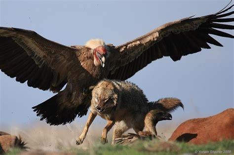 vulture and wolf predators pinterest