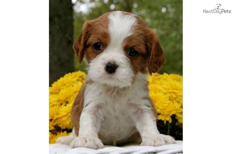 puppies st charles il akc cavalier free shipping imported lines cavalier king charles spaniel puppy for
