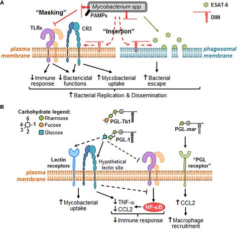 interaction of pattern recognition receptors with mycobacterium tuberculosis role of pattern recognition receptors in mycobacterium