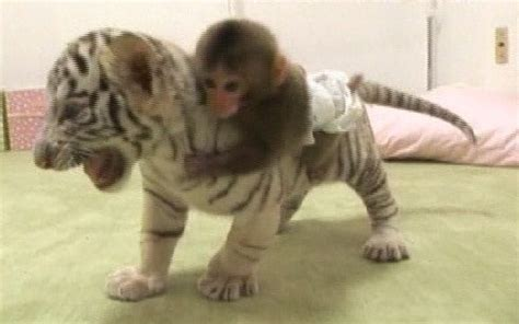 new year monkey for tigers 17 best images about animals animals on