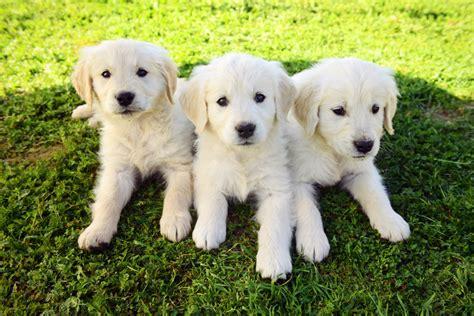 chadwick golden retrievers golden retriever puppies chadwick s goldens