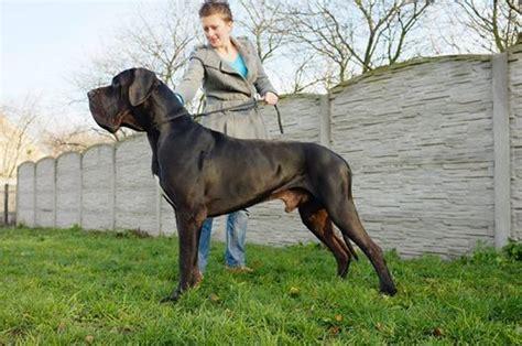 great dane puppies louisiana puppies great dane for sale la componella fci