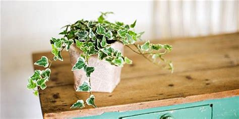 4 plants you can grow today to keep mosquitoes away the these best and easiest indoor houseplants that won t die