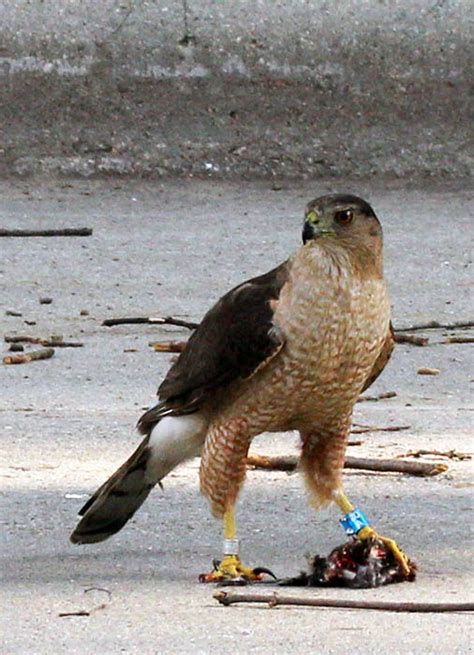 birds at backyard feeders attract small hawks actionhub