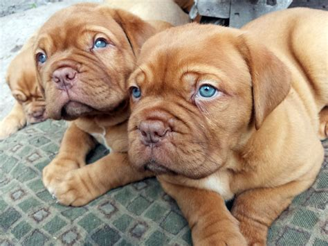 dogue de bordeaux puppy dogue de bordeaux all big breeds