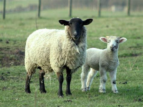 imagenes de ovejas negras informaci 243 n sobre las ovejas y sus caracter 237 sticas