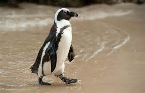 It lives south African., this penguin grows up to be 26.5 ...