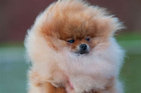 wanted pomeranian puppy high quality pomeranian puppy boy basingstoke hshire pets4homes