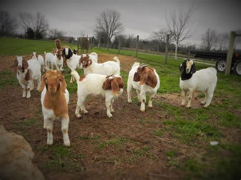 bucks sale price boer goat bucks for sale in kentucky from run creek