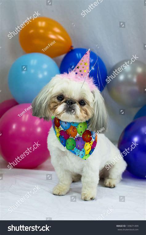 white dog wearing birthday hat surrounded  balloons stock photo  shutterstock