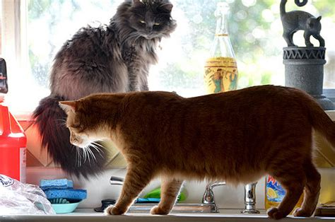 how to stop cats jumping on kitchen bench how to easily keep your cats off kitchen counters