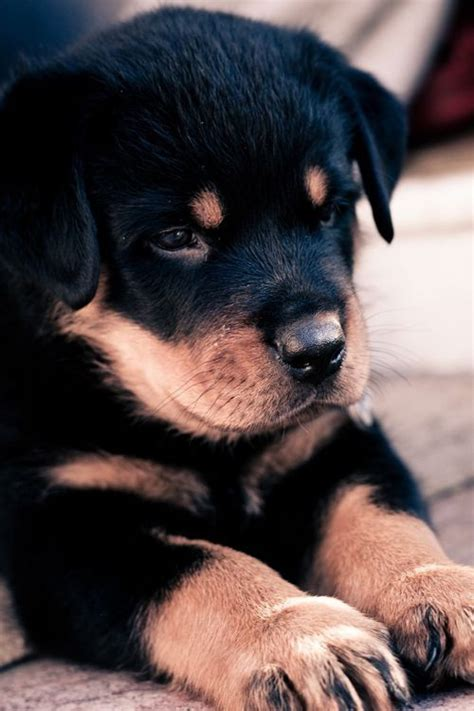 fluffy rottweiler 17 best images about rottweiler on guard best dogs and rottweiler