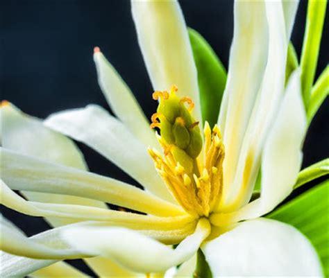 Cempaka Putih Aceh flonimal nesia mitos mistis bunga cempaka putih