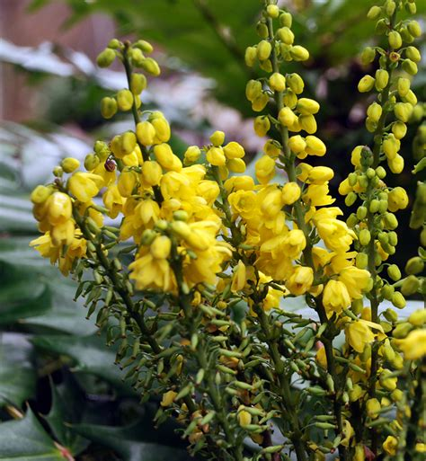 yellow like flower shrub plants that are looking right now cox garden