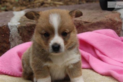 corgi puppies for sale near me corgi puppy for sale near lancaster pennsylvania 6174fdd2 5761