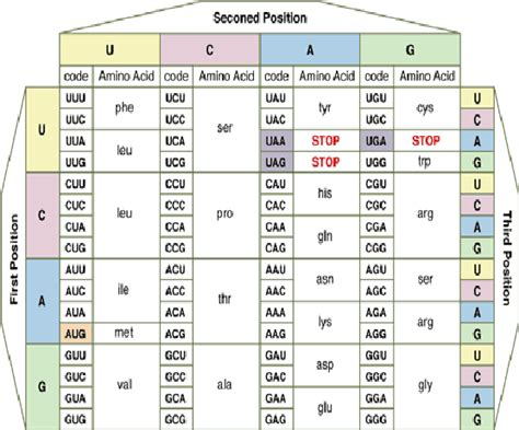 the amino acid codons table