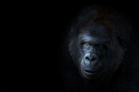 black monkey pro black monkey pro bacchikoi
