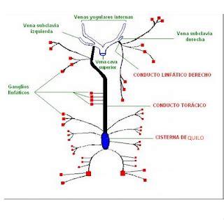 cadenas ganglionares mama fameluz drenaje linfatico de cabeza y cuello