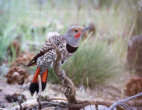 oregon birds