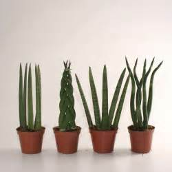 Sansevieria cylindrica long hairstyles