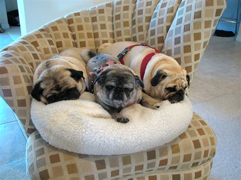 pug puppy bed the pug tags bed owned by pugs