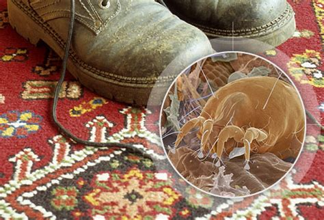 rug mites slideshow allergy hotspots in homes