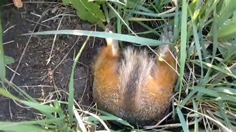 grass frantically hilarious captures overweight squirrel struggling to fit inside its burrow in