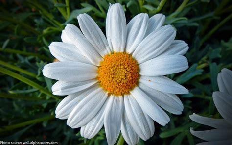 facts about daisy flowers small daisy flowers savingourboys info