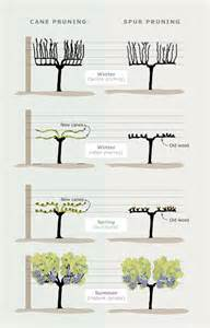 Trellis For Grapevines Cane And Spur Pruning Viticulture Te Ara Encyclopedia