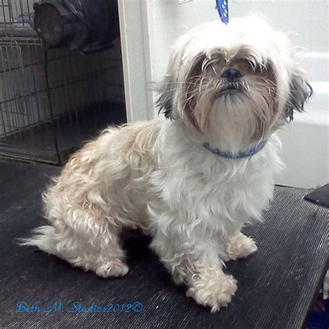 shih tzu after grooming 33 best images about shih tzus lhasa before and after