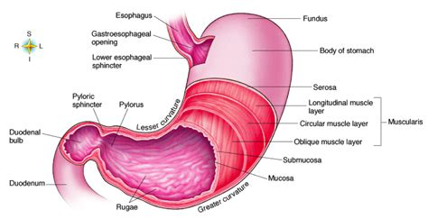 stomach diagram ileocaecal junction images frompo