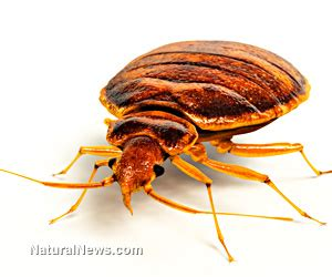 bean leaves bed bugs the bean plant leaf traps and kills bed bugs naturalnews com