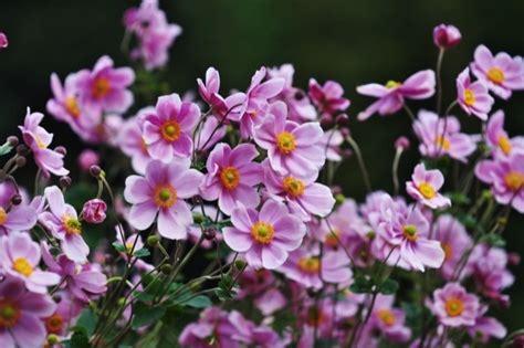 fiori da giardino autunnali fiori autunnali elenco immagini e coltivazione fai da
