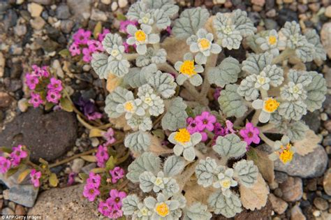 california desert flowers pictures of bloom of wildflowers in the