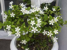 plantas  atraen el amor  la buena energia al hogar