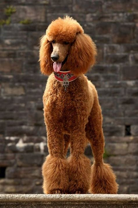 french poodle haircuts 4010 best images about poodles poodles poodles on