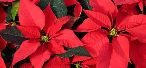 poinsettia poisonous to dogs which plants are toxic to dogs modern magazine