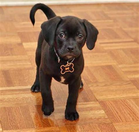 black pug grown best 25 puggle puppies ideas on pug beagle mix types of puppies and jug