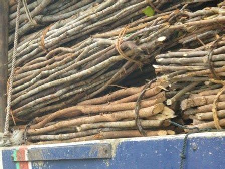 Kayu Manis cinnamon or kayu manis from kalimantan barat