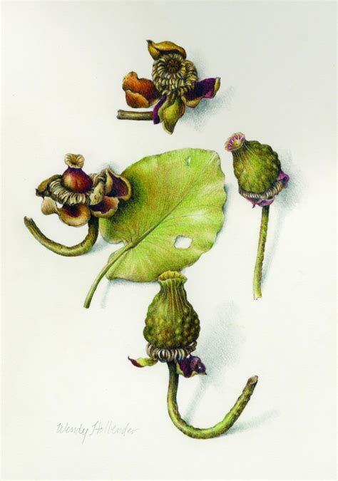 botanical drawing in color wendy hollender art